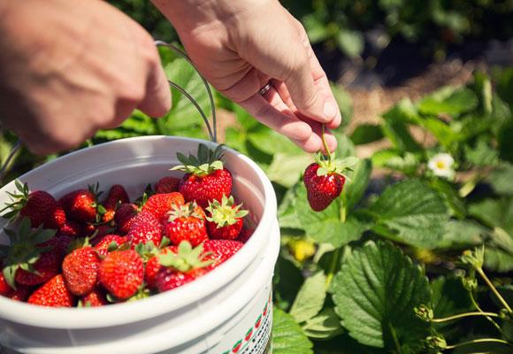 Девушка собирает ягоды клубники