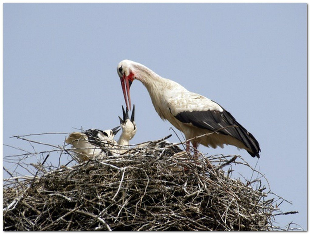 Аист кормит птенца