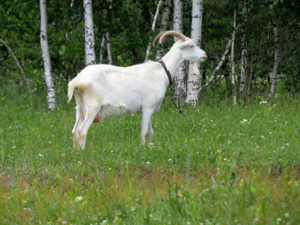 Бела коза