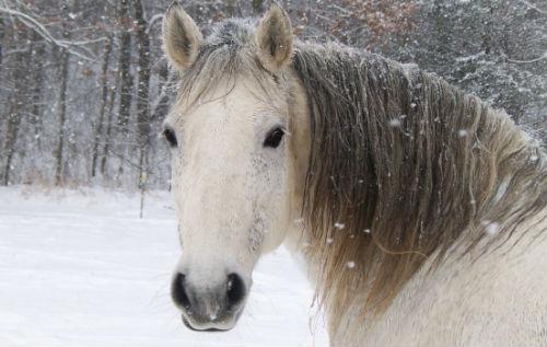 белая лошадь