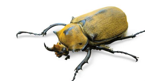 видеть желтого жука-насорога