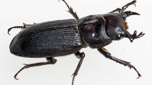 к чему снится большой жук