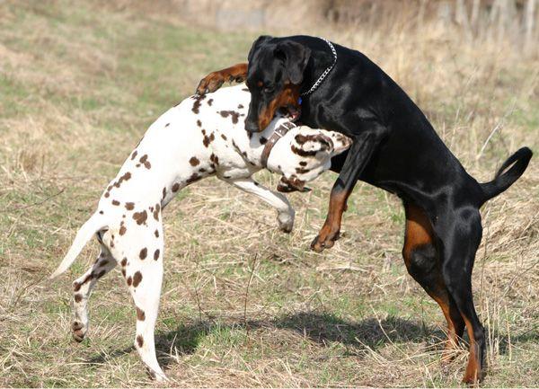 Для обряда необходимо смотреть на дерущихся собак