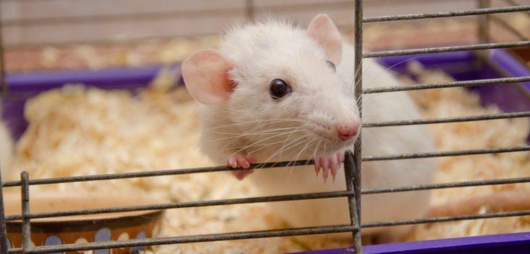 Крыса в клетке во сне