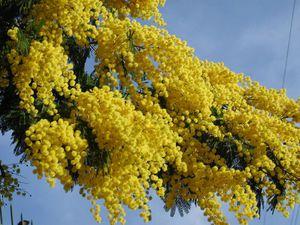 Мимоза - это один из цветов, которые дарят традиционно на 8 марта