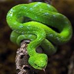 К чему снится зеленая змея?