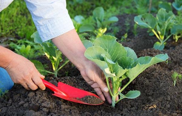 Сажать рассаду