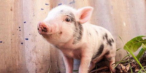 свиненок