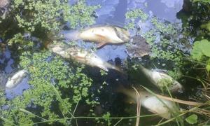 Мертвая рыба в озере