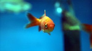 Приснилась золотая рыбка
