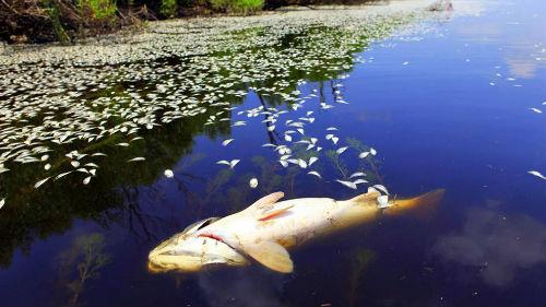 много мертвой рыбы