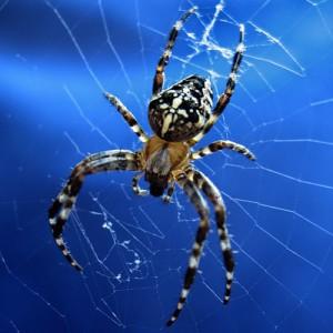 паук сонник