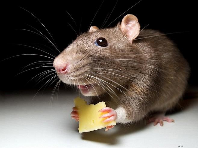 Приснилась живая мышь толкование по сонникам